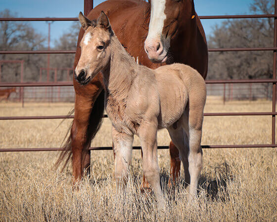 CD Diamond x Billies Smooth Cat - 2018 Colt