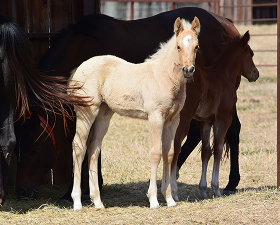 CD Diamond x Cat Scann - 2017 Filly