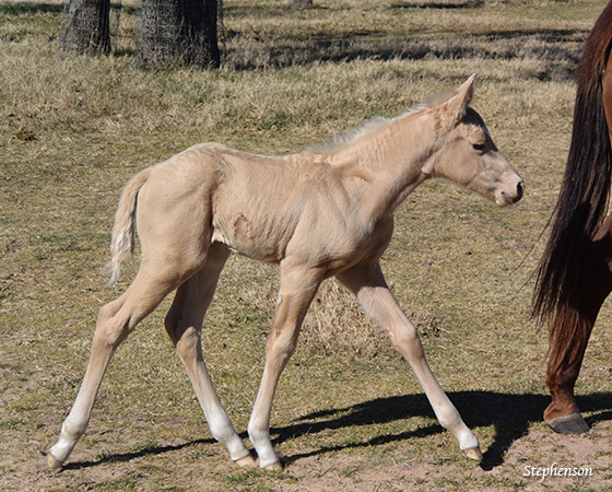 CD Diamond x Katarinas Lil Step - 2016 Colt