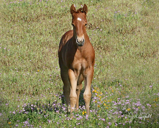 CD Diamond x Playguns King Badger - 2015 Colt