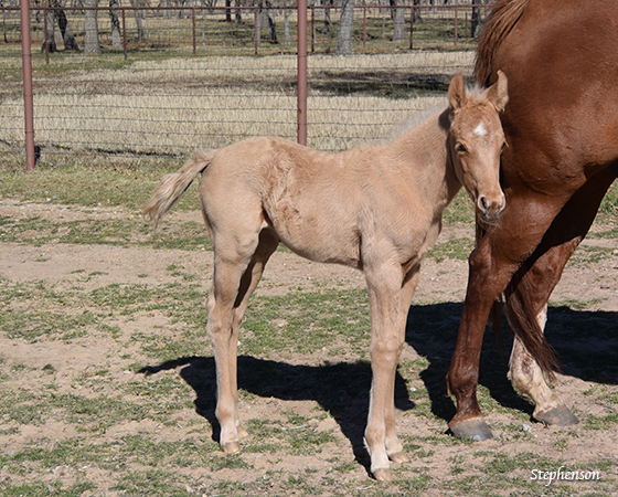 CD Diamond x Sues Barn Cat - 2016 Filly