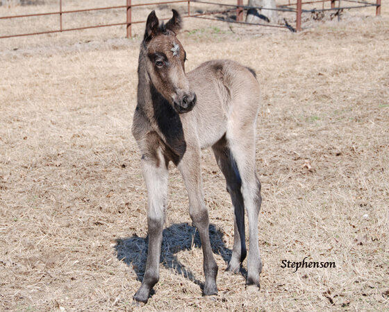 CD Diamond x Oak N Sugs UFO - 2018 Filly