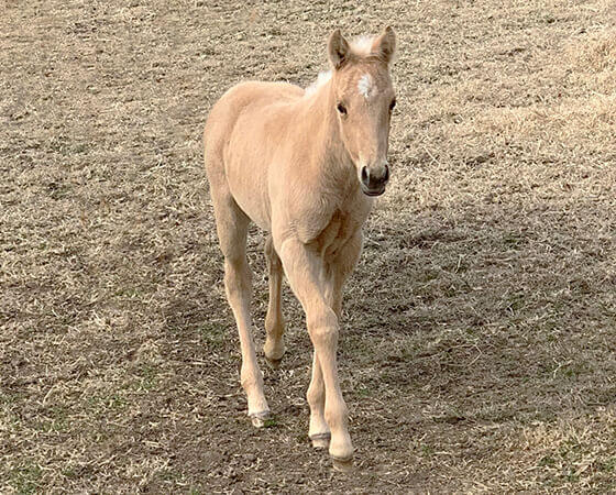 CD Diamond x Oaks Natalie - 2019 Filly